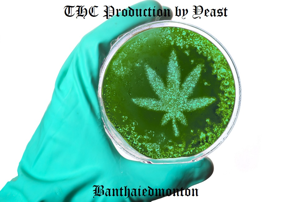 THC Production by Yeast