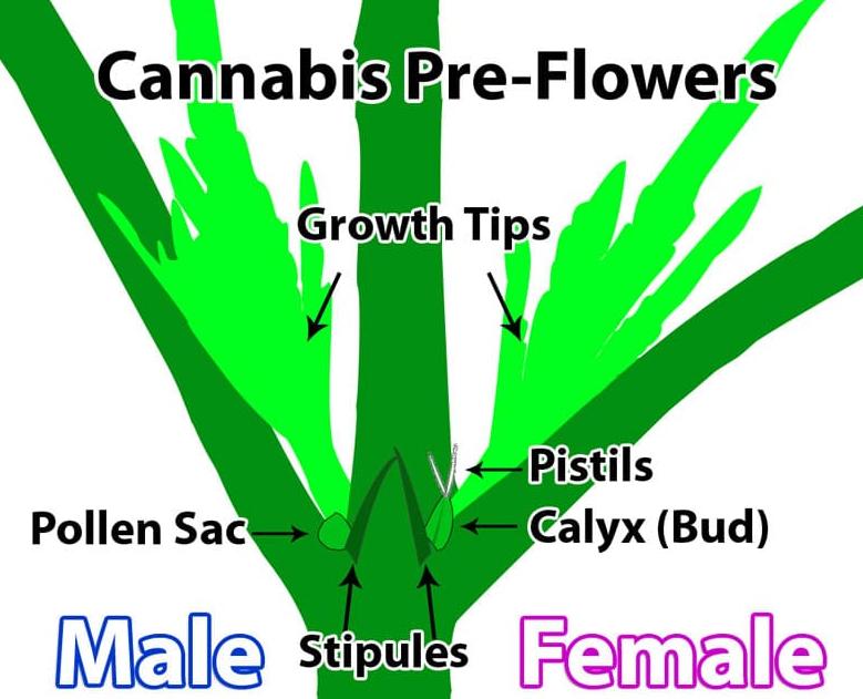 Male Vs Female Marijuana Plants